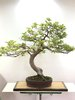 Bonsai Fagus Sylvatica (haya)