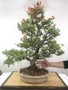 Bonsai Punica Granatum Nejikan