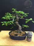 Bonsai Ilex Serrata 23 años