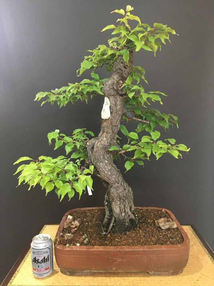 Bonsai Prunus Mume