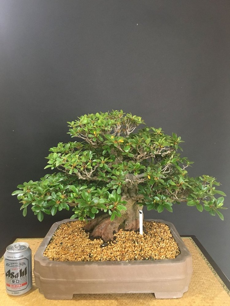 Bonsai Rhododendron Indicum