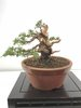 Bonsai Juniperus Chinensis Ito