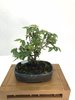 Bonsai Zelkova Serrata 18 años