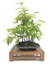 Bonsai Carpinus japónica (bosque)