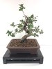 Bonsai Quercus (Alcornoque)